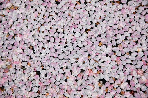 Cherry Blossom「Fallen Cherry Blossom Petals, Hirosaki, Japan」:スマホ壁紙(18)