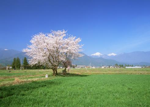 Cherry Blossom「Cherryblossom in field」:スマホ壁紙(2)