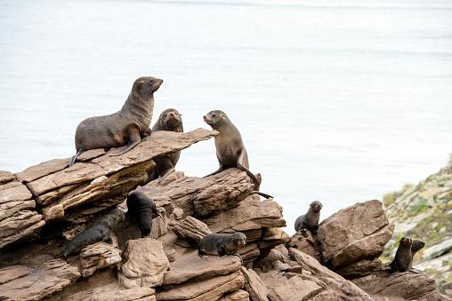 Falkland Islands「Fur seal on rocks」:スマホ壁紙(5)