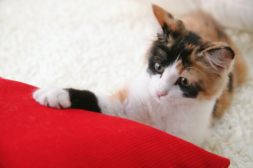 Mixed-Breed Cat「Calico cat touching cushion」:スマホ壁紙(4)