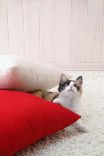 Mixed-Breed Cat「Calico cat looking up」:スマホ壁紙(15)