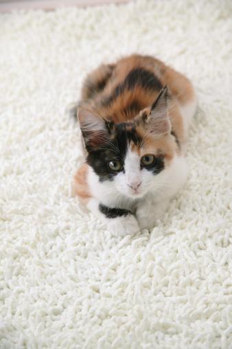 Mixed-Breed Cat「Calico cat looking at camera」:スマホ壁紙(6)