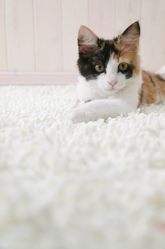 Mixed-Breed Cat「Calico cat looking at camera」:スマホ壁紙(2)
