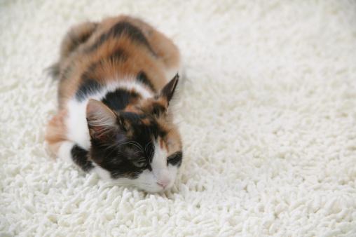 Mixed-Breed Cat「Calico cat looking at camera」:スマホ壁紙(1)