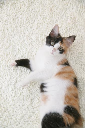 Mixed-Breed Cat「Calico cat looking at camera」:スマホ壁紙(16)