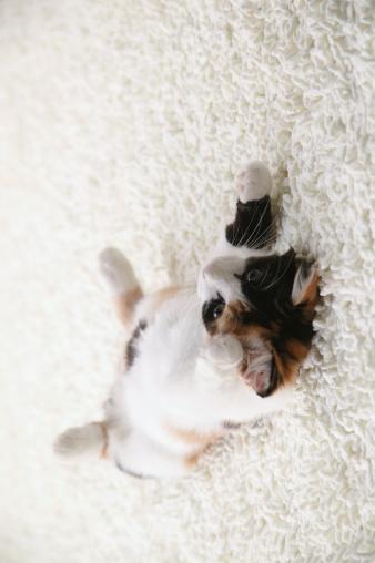雑種のネコ「Calico cat lying on back」:スマホ壁紙(13)