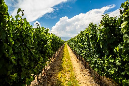 Grape「Grapes at vineyard in Mendoza, Argentina」:スマホ壁紙(15)
