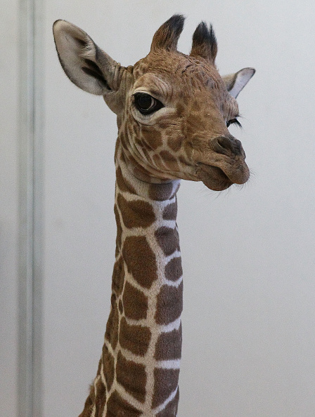 Giraffe「Baby Giraffe Makes Debut At Six Flags Discovery Kingdom」:写真・画像(14)[壁紙.com]