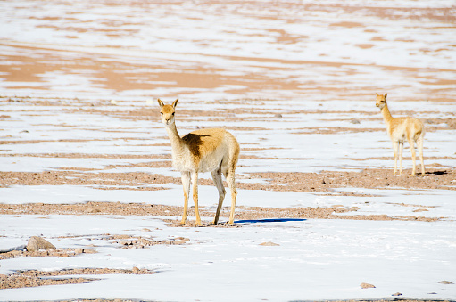 Vicuna「Bolivia, Eduardo Avaroa Andean Fauna National Reserve, two vicunas」:スマホ壁紙(14)