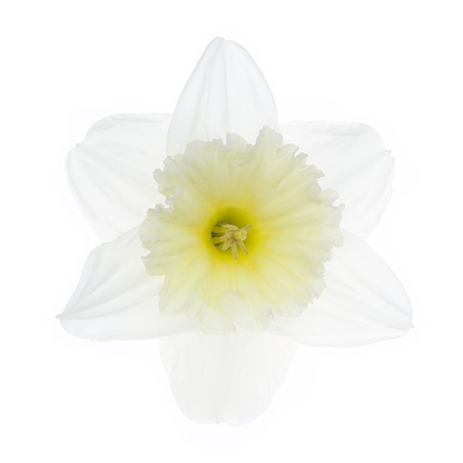 Stamen「Fragile white daffodil with pale yellow trumpet on white.」:スマホ壁紙(12)