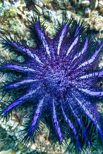 Animal Arm「Crown of Thorns Starfish (Acanthaster planci) Seastar」:スマホ壁紙(17)