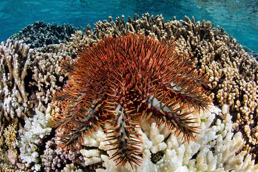 Iris - Eye「A crown of thorns starfish feeds on a coral reef in the Banda Sea.」:スマホ壁紙(2)