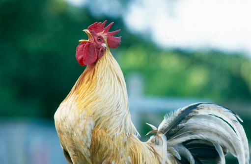 Males「Rooster」:スマホ壁紙(16)
