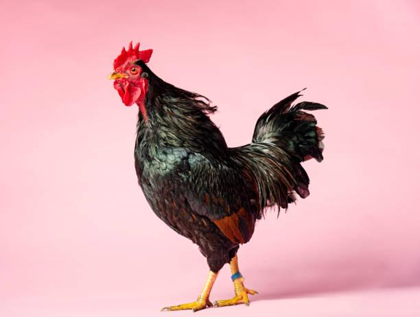Rooster:スマホ壁紙(壁紙.com)