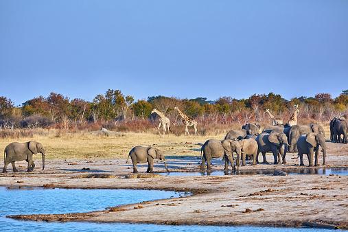 Giraffe「Elephants drinking at waterhole」:スマホ壁紙(2)