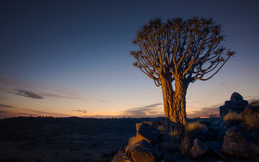 Quiver Tree「A stark and lonely quiver tree stands still on the arid, rugged landscape, like some giant prehistoric dandelion in the dawn sky. Full colour horizontal image」:スマホ壁紙(12)