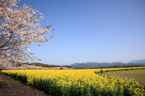 Cherry Blossom「Cherry and Rape Blossoms, Saito, Miyazaki, Japan」:スマホ壁紙(16)