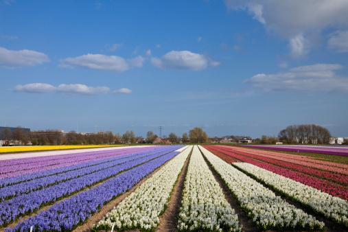 Keukenhof Gardens「Hyacinth Field」:スマホ壁紙(5)