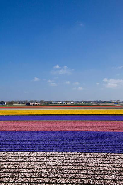 Hyacinth Field:スマホ壁紙(壁紙.com)
