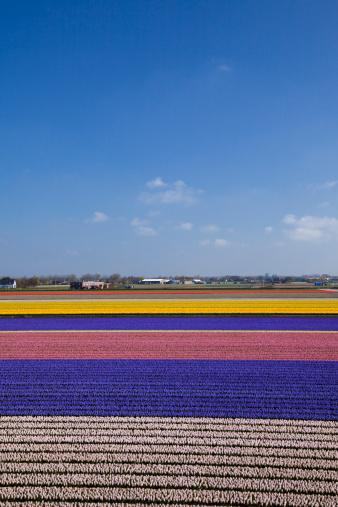 キューケンホフ公園「Hyacinth Field」:スマホ壁紙(17)