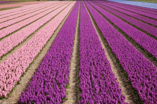 Keukenhof Gardens「Hyacinth Field」:スマホ壁紙(3)
