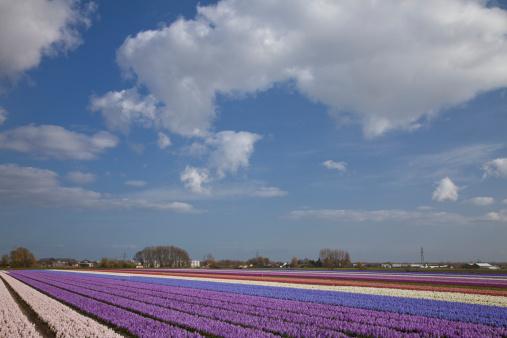 キューケンホフ公園「Hyacinth Field」:スマホ壁紙(15)