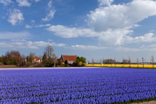 キューケンホフ公園「Hyacinth Field」:スマホ壁紙(14)