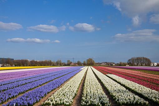 Keukenhof Gardens「Hyacinth Field」:スマホ壁紙(18)