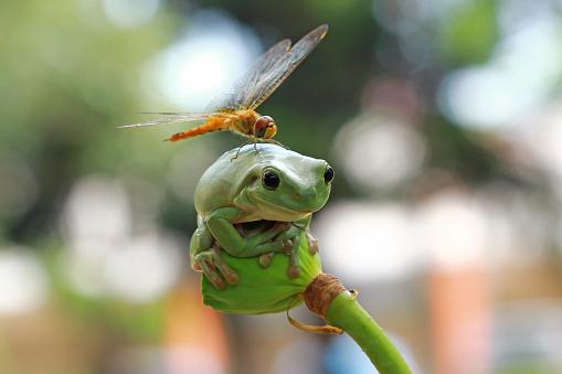 とんぼ「Dragonfly sitting on dumpy frog, Indonesia」:スマホ壁紙(11)