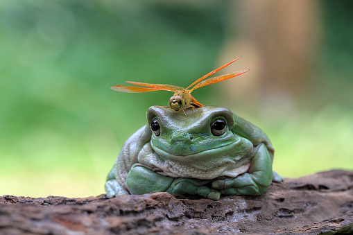 とんぼ「Dragonfly sitting on a dumpy frog, Indonesia」:スマホ壁紙(9)