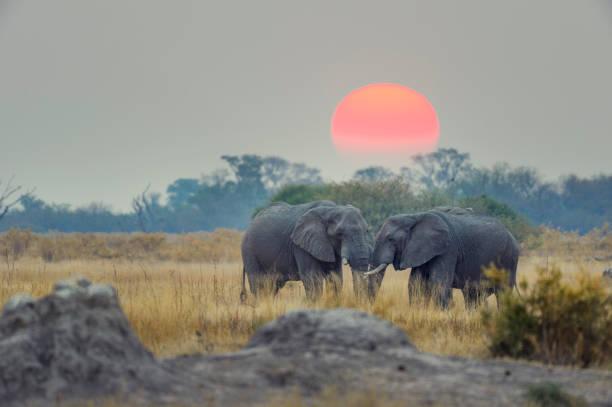 Two elephants with sunset behind.:スマホ壁紙(壁紙.com)
