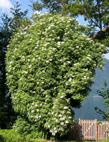 Salzkammergut「Austria, Salzkammergut, Mondsee, blooming elder bush」:スマホ壁紙(12)