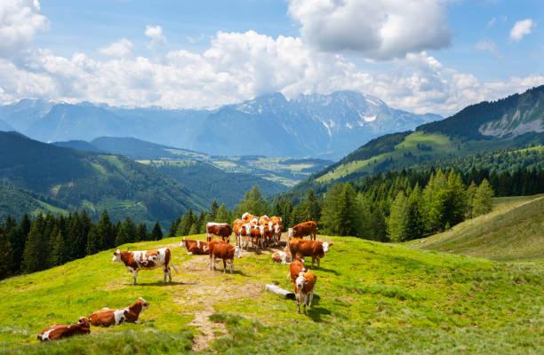 Austria, Salzburg State, Tennengau, Sankt Koloman, cows:スマホ壁紙(壁紙.com)