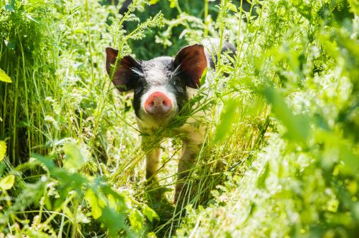 猪「Austria, Salzburg State, Untertauern, Pongau, young domestic pig, free-range」:スマホ壁紙(6)