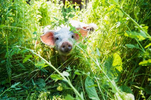 Boar「Austria, Salzburg State, Untertauern, Pongau, young domestic pig, free-range」:スマホ壁紙(15)