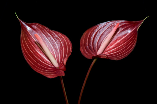 Anthurium「Anthuriums against black background」:スマホ壁紙(18)