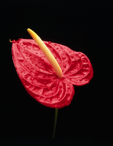 Anthurium「Anthuriums」:スマホ壁紙(11)