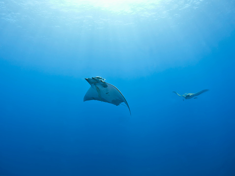 Manta「Portugal, Azores, Santa Maria, Atlantic Ocean, two Mobula rays」:スマホ壁紙(17)