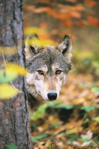 1990-1999「Gray Wolf Peeking Around a Tree」:スマホ壁紙(18)