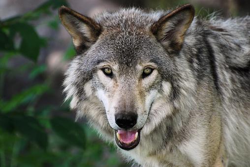 Wolf「ハイイロオオカミ」:スマホ壁紙(11)