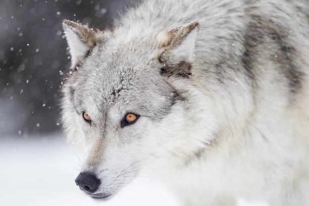 Gray Wolf:スマホ壁紙(壁紙.com)