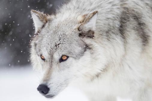 Three Quarter Length「Gray Wolf」:スマホ壁紙(17)