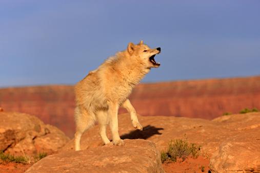 Wolf「Gray wolf」:スマホ壁紙(9)
