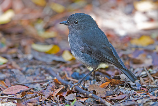 Māori「TheStewart Island robin or Toutouwai (Māori), Petroica australis rakiura, is a sparrow-sized bird found only in New Zealand, where it has the status of a protected endemic species. The birds are sparsely distributed through South Island and Stewart Island」:スマホ壁紙(1)