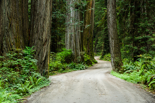 Old Growth Forest「Howland Hill Road winds through old growth trees, Jedediah Smith Redwoods State Park, Redwood National Park, California.」:スマホ壁紙(16)