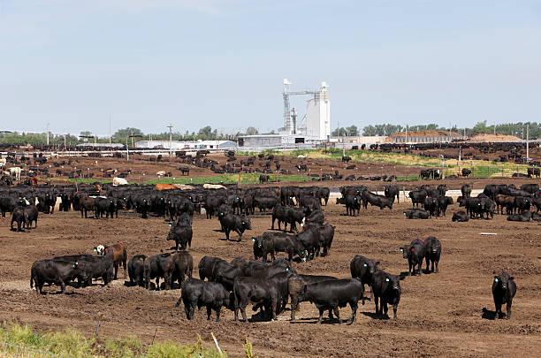 Cattle in dry outdoor Kansas feedlot:スマホ壁紙(壁紙.com)
