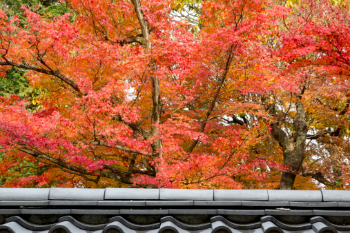 Japanese Maple「Japanese autumn maple (Acer palmatum)」:スマホ壁紙(6)