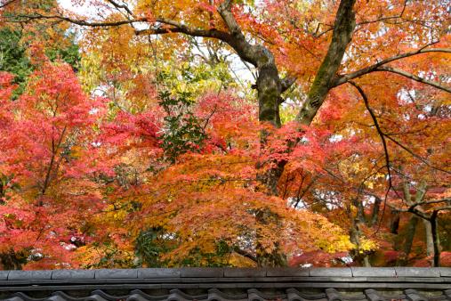 Japanese Maple「Japanese autumn maple (Acer palmatum)」:スマホ壁紙(5)