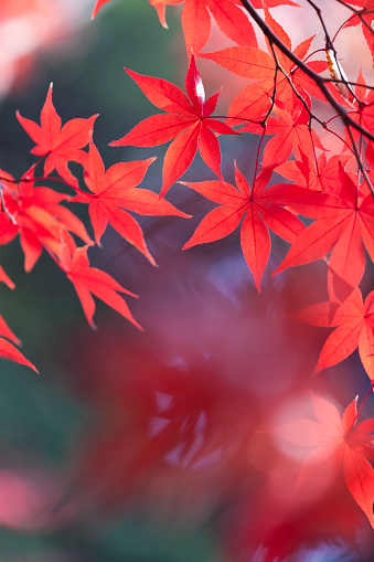 Japanese Maple「Japanese Autumn Colors」:スマホ壁紙(13)