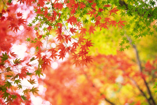 Japanese Maple「Japanese Autumn Forest」:スマホ壁紙(17)